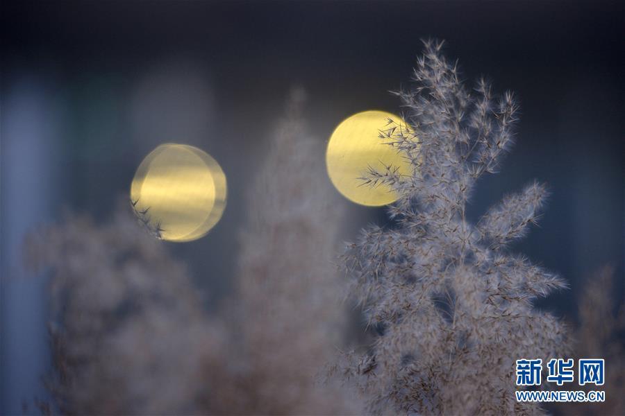 成景 陈雷/11月26日,在河北省邢台市桥东区七里河畔,芦花随风摇曳,与...