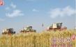 安阳市紧跟小麦最低收购价首降风向标