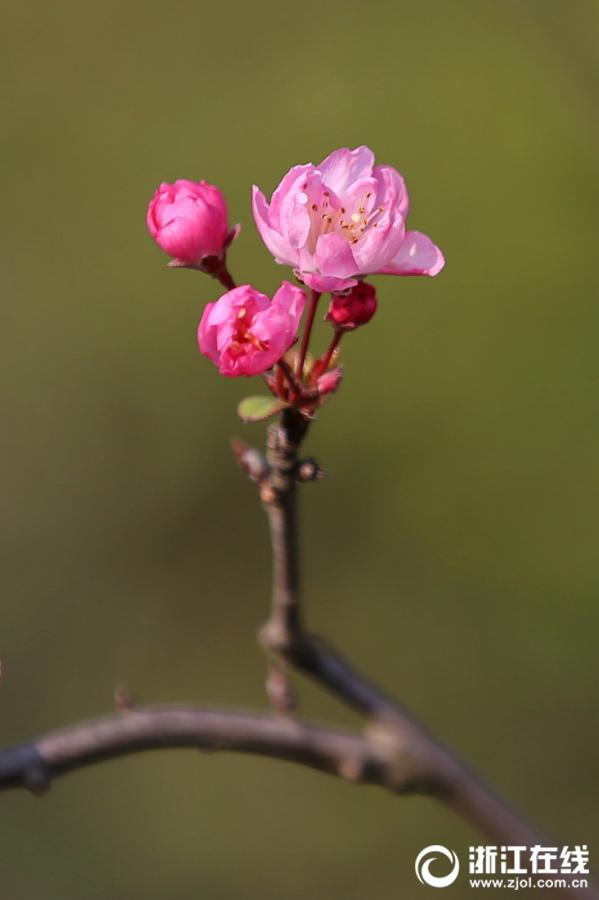 嘉兴南湖海棠花开放