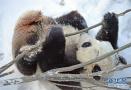 熊猫在雪中嬉戏玩耍