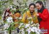 河北省秦皇岛市海阳镇引导农民种植大棚樱桃 每亩年纯收入达5万元