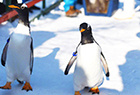 企鹅走出极地馆透气