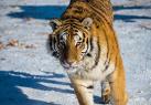 东北虎进行野化训练