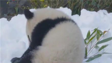 """逛大熊猫繁育基地 看""""滚滚""""欢乐戏雪"""