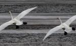 气温回暖 近百只白天鹅栖息朝阳大凌河
