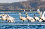 白天鹅聚集丹东东港 壮观场面吸引摄影爱好者与游客