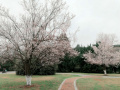 比樱花还美!南京农业大学的紫叶李开好啦!