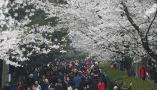 武大樱花盛开 游人如织