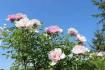临夏全城牡丹竞相开放,花期将延续至本月底!