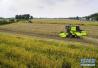 河北省麦区出现小麦条锈病 专家建议:发现一点 防治一片