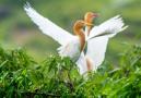 白鹭起舞生态美