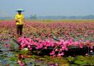 孟加拉国:睡莲花开