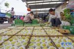 遵化:香白杏畅销助农增收