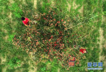 河北清河:山楂红了