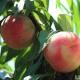 奉化水蜜桃