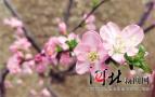 春暖花开 石家庄的榆叶梅初绽迎客 快去看看