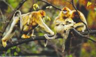 神农顶首现野生金丝猴 近三年首被发现