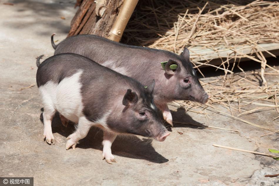 """""""克隆猪""""在深圳市动物园首次展出"""