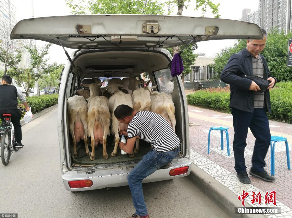 奶农将奶羊带进城 鲜奶现挤现卖