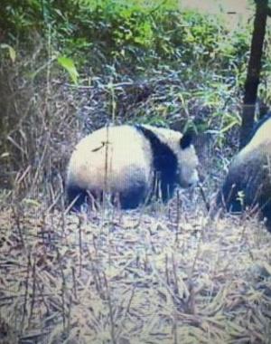 四川千佛山保护区首次拍到野外熊猫
