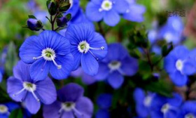 婆婆纳:诗意的蓝色妖姬