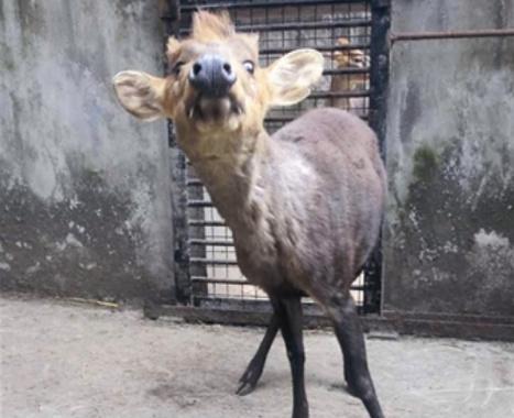 春节后黑麂将住进杭州动物园 系朋克风的国宝级动物