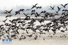 湿地好生态候鸟如约归