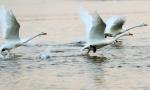 大天鹅飞抵荣成越冬,湖面翩翩起舞