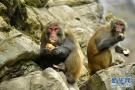野生猕猴觅食过冬