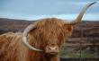 有趣!苏格兰一高原母牛牛角倒长酷似蓝牙耳机