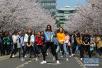 上海校园樱花盛放 女大学生樱花树下跳热舞