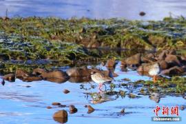 初夏时节 山丹马场鸾鸟湖边栖息大量的鸟类