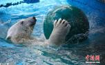 呆萌北极熊游泳消暑