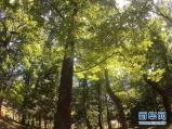 开封有棵800多岁古树:是棵朱元璋抱过的槐树?