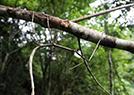 世界最长昆虫幼体