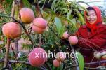 深州蜜桃丰收季 带动农家增收致富