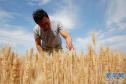 河南宝丰小麦即将开镰