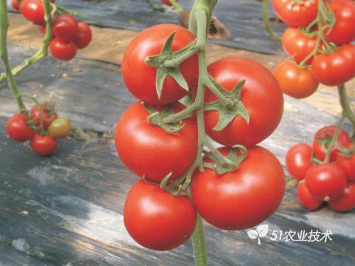 抗番茄黄化曲叶病毒优质多抗番茄品种选育及高效聚合育种技术