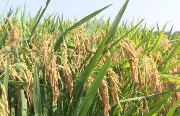 """又""""稻""""丰收季!河南省罗山县努力打造绿色稻米公共品牌"""