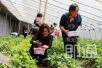 草莓采摘正当时 感受收获的喜悦 邯郸郊游有了好去处
