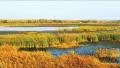 郑州黄河湿地大片的芦苇荡 美如草原