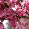 龙王塘樱花园