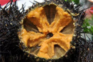 大连人必须看:吃海胆——吃到嘴里的到底是什么?