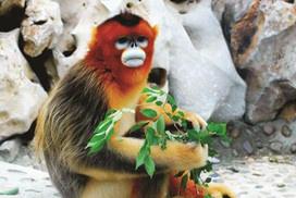 金丝猴夫妇十年6胎全成活