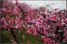 丹东桃花节预定4月25日开幕 拉开宽甸春季旅游序幕