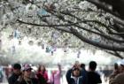 河南许昌:樱花烂漫赏花时