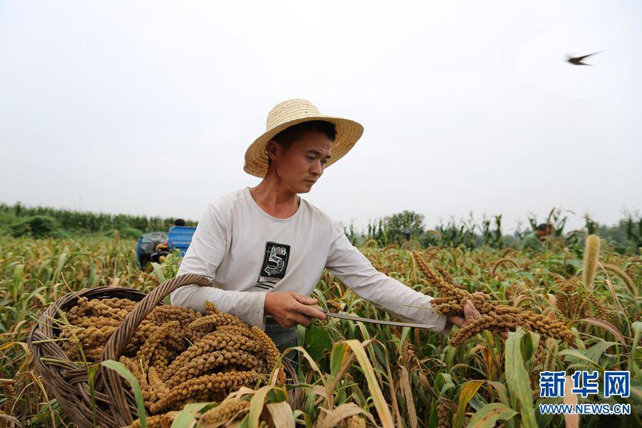 2017年8月27日,河南省安阳市龙安区马投涧镇高白塔村,村民高大帅正在收割谷穗。