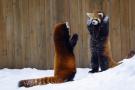 """小熊猫的""""威慑力"""""""