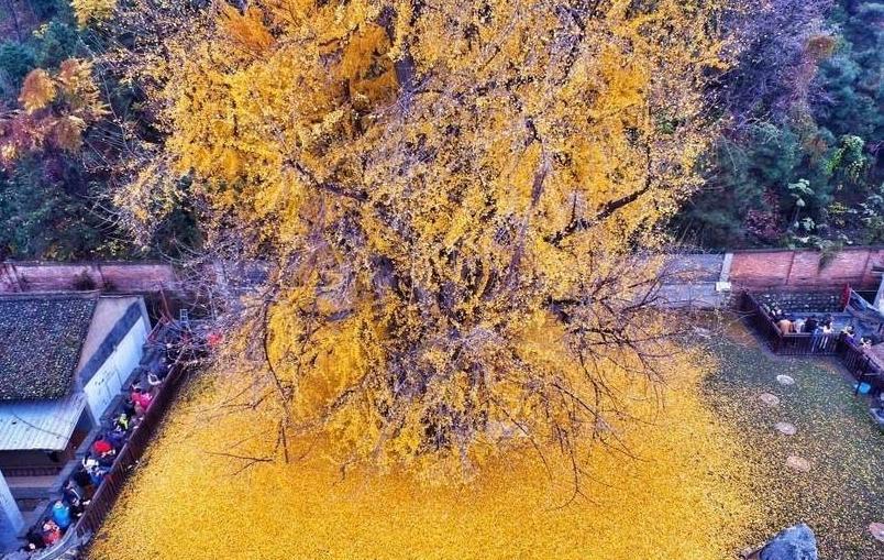 美哭了!千年银杏树