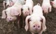 中国科学家培育出瘦肉猪 脂肪少24%